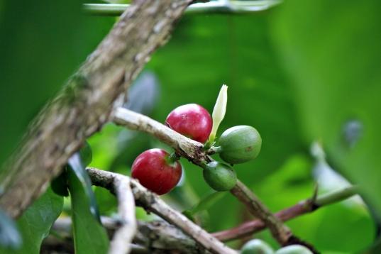 Lembah Kamuu, Kabupaten Dogiyai, terkenal sebagai penghasil kopi Moanemani