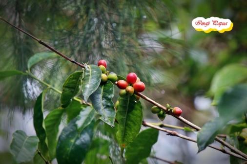 tanaman kopi
